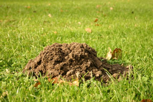 Picture of a mole hill, common when moles are present.