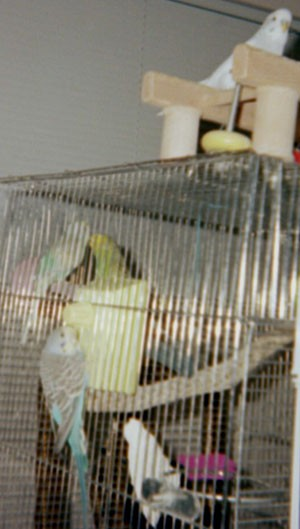 Billy & Bobby (Parakeets)