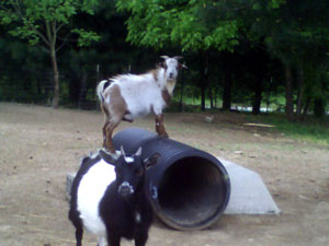 George and Snap (Goats)