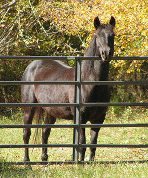 Fancy (Tennessee Walker)