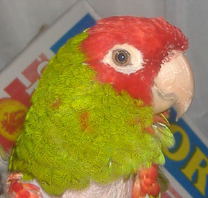 Jakie (Red Headed Conure)