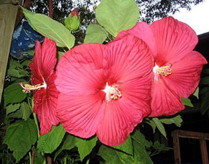 The Morning Luster of a Crimson Beauty (Hibiscus)