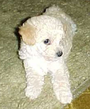 Duncan (Toy Poodle)