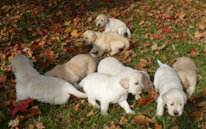 LuLu and Wayas' Puppies (Golden Retrievers)