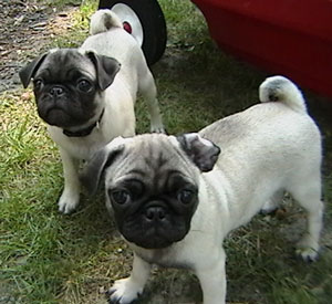 Cain and Abel (Pugs)