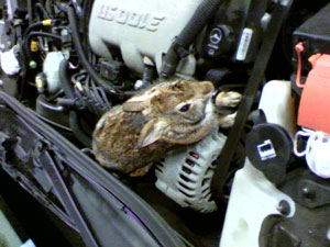 Rabbit In Engine