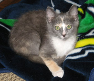 Cala Lily (Domestic Shorthair Calico)