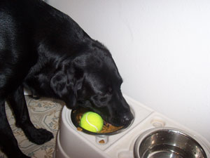 Pato (Black Lab)
