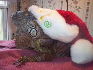 Happy New Year From Rex (Green Iguana)