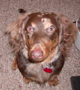 Rusty (Long Hair Daschund)