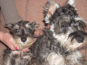 Scruffy and Lola (Mini Schnauzer)