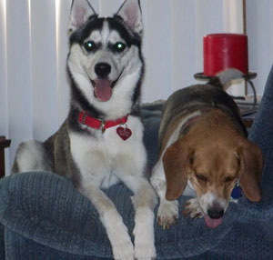 Annika and Garth (Husky-German Shepherd Mix/Beagle Mix)