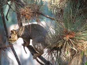 Garden: Squirrel In The Ponderosa Pine