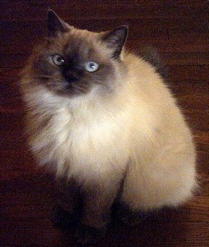 Fancy (Himalayan)
