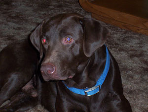 Cocoa Cady (Chocolate Lab)