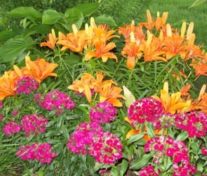 Dianthas, Hostas and Asiatic Lilies