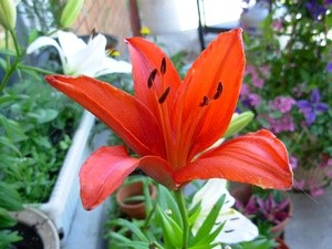 Greenhouse Lily