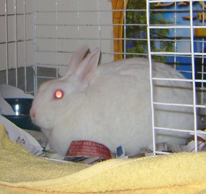 Sparkle (Florida White Rabbit)