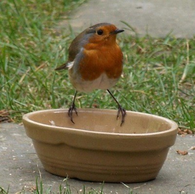 Wildlife: European Robin