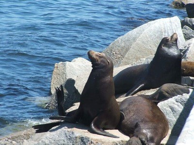 Wildlife: Sea Lions (Monterey, CA)