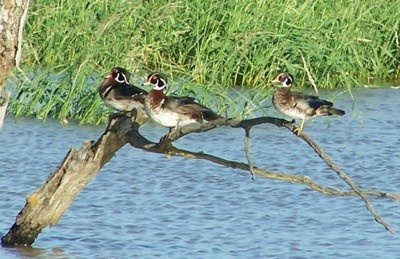 Wildlife: Wood Ducks