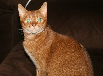 Penny (Abyssinian)