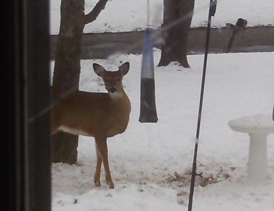 Wildlife: Deer At Bird Feeders