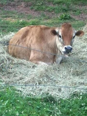Norman (Jersey Cow)