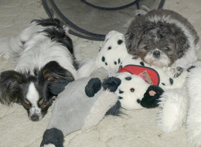 Tommie and Victor (Papillion and Shih-tzu)