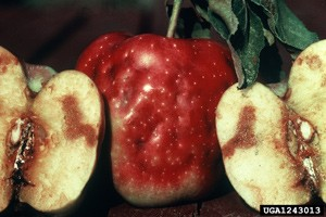 Subject: Apple Maggot<br>Citation: Whitney Cranshaw, Colorado State University, <a href=