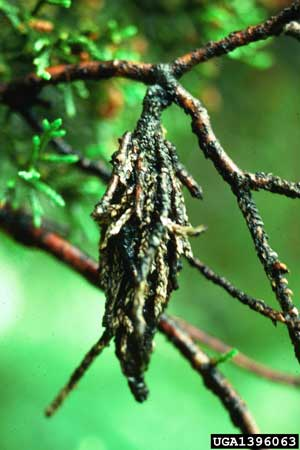 Subject: Bagworms<br>Citation: USDA Forest Service-Northeastern Areas Archives, USDA Forest Service, <a href=
