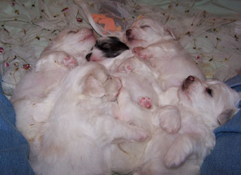 Pile of Puppies