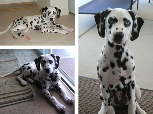 Dottie - Dalmation