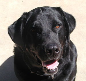 Skeeter (Black Lab)