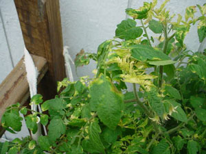Tomato Plants with Yellow Leaves