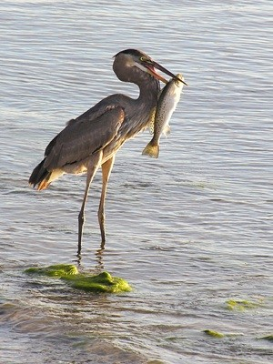 Wildlife: Blue Heron