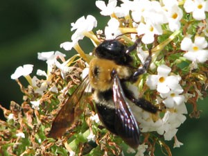 Garden: Bumblebee on a Flower