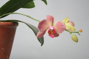 transplanting orchids thriftyfun. Black Bedroom Furniture Sets. Home Design Ideas