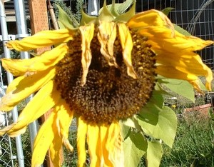 Last Of Summer Sunflowers