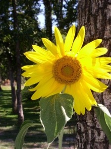 Sunflower Showoff