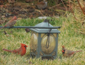 Wildlife: Cardinal Photos