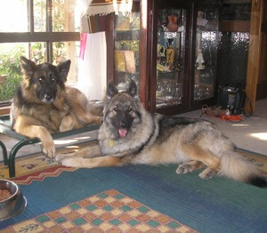 Delilah and Scarlett (German Shepherds)