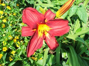Garden: Day Lily
