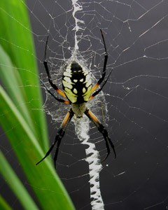 Wildlife: Garden Spider Photo