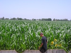 Scenery: California Cornfield