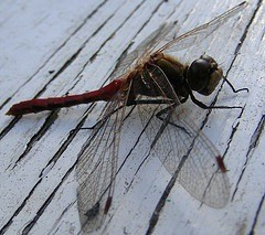 Wildlife: Dragonflies