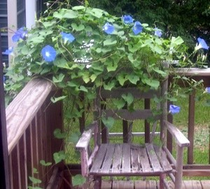 Garden: Blue Morning Glories