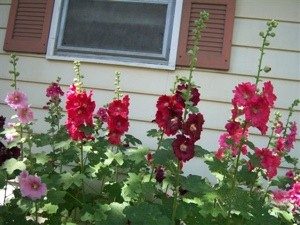 Garden: Hollyhocks