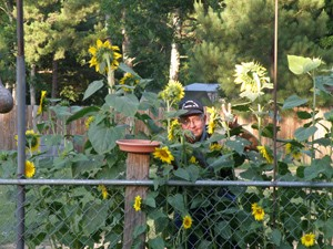 Garden: Sunflowers