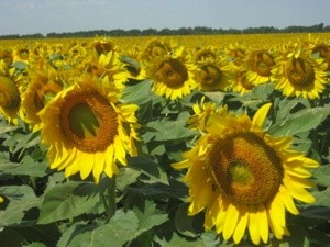 Scenery: Field of Sunflowers